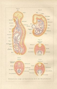 """1890 HUMAN BODY EMBRYO Antique Lithograph Print J.Ranke.Original old German colour lithograph print with a tissue guard/book plate(not a modern reproduction) from    """"DER MENSCH"""" by Prof.Dr.J.Ranke.     The print has been printed by Bibliographisches Institut Leipzig,Germany in 1890.     Very decorative.It looks great when framed.     The overall size of this print with margins approx 10"""" x 7""""."""