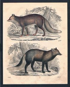 1846 Fuchs Füchse Fox Säugetier Tier Animal Original Lithographie Lithograph | eBay