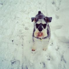 Snow schnauzer