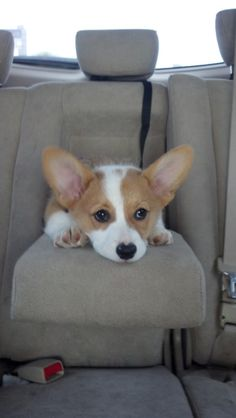 Riding Shotgun Corgi