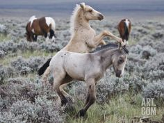 larry-ditto-wild-horse-babies-playing-wyoming-usa_i-G-62-6223-DB33100Z.jpg (473×355)