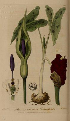 v.4 - British phaenogamous botany, - Biodiversity Heritage Library