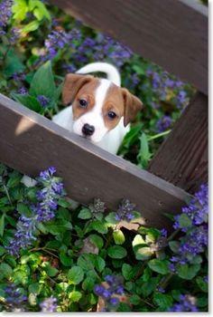 Jack Russell Terrier !