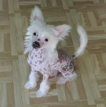 This puppy looks like a toy. Bare Paws Rescue Chinese Crested Breed Info