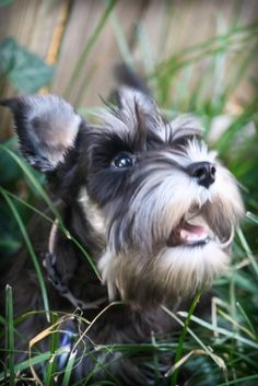 Ivey watching for squirrels - Schnauzer