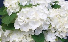 White Out Forever and Ever Hydrangea - zone 4.blooms spring to fall on new and old wood and reblooms during summer. I have several of these and the blooms are so white they seem translucent. The blooms last weeks and weeks. Then you are rewarded with reblooms. 2-3'tall and 2'wide.