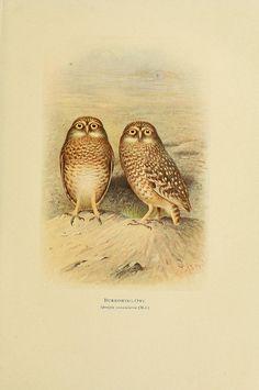 Scientific Illustration: burring owls