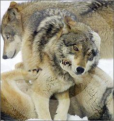 Wolf watching in Yellowstone - 4 night adventure