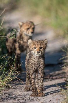 6 new cheetah cubs at Chitabe camp in the Okavango, Botswana
