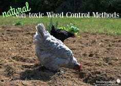 7 Natural Non-Toxic Weed Control Methods for a Chicken-Friendly Yard and Garden | Fresh Eggs Daily®