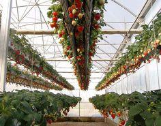 Strawberry gardening by hydroponics