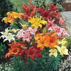 Buy Hardy Perennial Lilies at Michigan Bulb