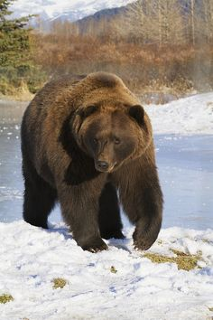 Captive mature Brown bear walking at the Alaska Wildlife Conservation Center in Portage, Southcentral Alaska, Autumn Bear Pictures, Animal Pictures, Bear Photos, Bear Images, Wildlife Photography, Animal Photography, Animals And Pets, Cute Animals, Wild Animals