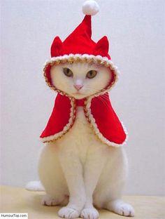 Chat persan blanc qui porte un beau costume de p re no l for Deguisement trop drole