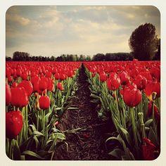 Can't get enough of #tulips  #igersholland #jj_forum #dutch #ubiquography #ebstyles_gf #earlybirdlove #holland #keukenhof #tulipfieldsexperience #tulipfields - @alanisko- #webstagram
