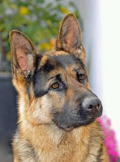 Wicked Training Your German Shepherd Dog Ideas. Mind Blowing Training Your German Shepherd Dog Ideas. Big Dogs, I Love Dogs, Dogs And Puppies, Cute Dogs, Doggies, German Sheperd Dogs, German Shepherds, Shepherd Dogs, King Shepherd