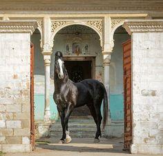Marwari stallion Savalak. photo: Ekaterina Druz.