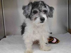 ★❥★ADOPTED★❥★~ Animal ID #A1035465    ‒ My Name is SMOREO. I am a Male, White Miniature Poodle mix. The shelter thinks I am about 2 years old. I have been at the shelter since May 06, 2015.      Animal Care and Control of New York City - Manhattan  Telephone ‒ (212) 788-4000 326 East 110 Street  New York, NY https://www.facebook.com/OPCA.Shelter.Network.Alliance/photos/pb.481296865284684.-2207520000.1431034078./818490304898670/?type=3&theater