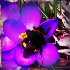 Bumblebee & crocus