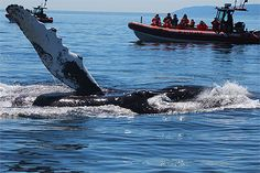 Whales cruise - Tadoussac, Québec Canada Trip, Canada Travel, Acadie, Old Quebec, Cruise Destinations, Photos Voyages, Whale Watching, Whales, Belle Photo