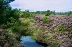 Remnant of Glenone Bog - Philip McErlean - The fashion in the 1970s/80s was to plant trees in our peat bogs destroying wonderful wildlife havens and replacing them with sterile uniform stands of  conifers.  This is a tiny corner of bogland that s... http://ift.tt/2cbIJSu IFtemppicpinned in Building blocksdownld in ios #September 4 2016 at 08:52PM#via IF