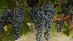 The Wines of Sonoma County - YouTube