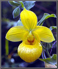 Cypripedium irapeanum