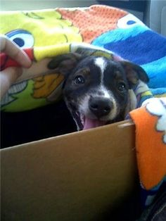 Mitzi peeking out from the box we brought her home in. A 2 hour drive, with a beach towel covering her to keep her quiet and calm! She was such a sweet little puppy!