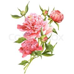 Pink watercolor peonies