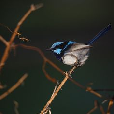 Superb Fairy Wren Blue Jay, Wren, Fairy, Photography, Animals, Photograph, Animales, Animaux, Photo Shoot
