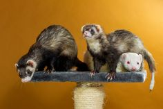 ferrets | Fun Interesting Facts About Ferrets