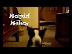 Border Collie Puppy Playtime