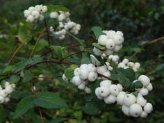 Snowberry is valued for its white berries that persist into winter.  It is a soft and elegant smaller bush and a great addition to the native landscape.