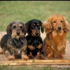 Wired hair, short hair & long hair daschunds. Forever a doxie lover because I have two of my very own<3 Wonderful dogs!