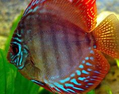 The Discus is a species of tropical Cichlid, found in the Amazon basin of South America.