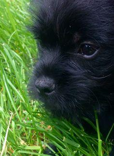 Albert- my purebred Affenpinscher puppy 10 weeks