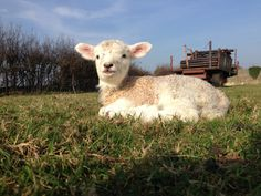 A final pic of one of Debbie's lambs enjoying the #Dorset sunshine
