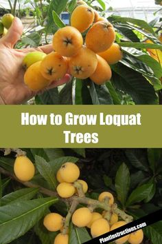 Keep reading to learn about how to grow loquat trees in your garden and reap the benefits of this stunning tree! Fruit Tree Garden, Fruit Plants, Garden Trees, Herbs Garden, Vegetables Garden, Japanese Plum Tree, Loquat Tree, Growing Fruit Trees, Growing Plants