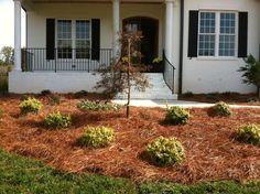 New home foundation plantings including Kaleidoscope Abelia, Crimson Queen Japanese Maple. wwwHawkinsLA.com