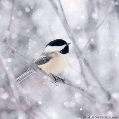 Chickadee in Snow by Allison Trentelman l #photography