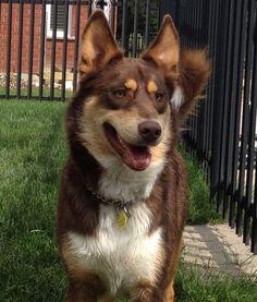 Decoding your dog (book review) | Stale Cheerios  |Blue Heeler Shepherd Husky Mix