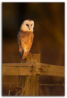 Barn Owl by David Whistlecraft