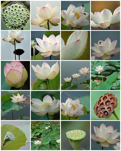 Lotus For the Koi Pond