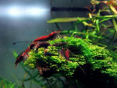 Aquarium shrimp and Invertebrate lovers!