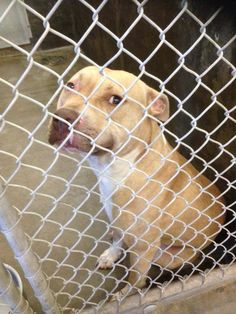 ~ODESSA~ URGENT~Staffie male 2-3 years old  Kennel A18~ $51 to adopt  He is super sweet and reminds of the girl on the list today. Such a good dog. Loves to kiss!!   Located at Odessa, Texas Animal Control. Must have a valid Drivers License and utility bill with matching address to adopt. They accept Credit Cards, cash or checks. We ARE NOT the pound. We are volunteers who network these animals to try and find them homes. Please send us a PM if we can answer any questions for you.