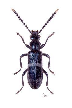 Lemodes jayawijaya (Anthicidae)