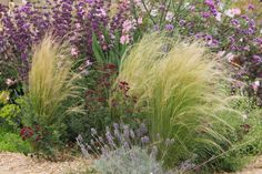 Stipa tenuissima - The delicate girl& hair grass blows through the borders in a fairy-fine manner and with its l - Garden Landscape Design, Landscape Art, Landscape Architecture, Garden Landscaping, Most Beautiful Pictures, Cool Pictures, Stipa, Hair Salon Interior, Architectural Design House Plans