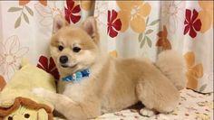 Shiba Inu or Pomeranian? A Haircut Reveals a New Cute Dog: the Shibaranian