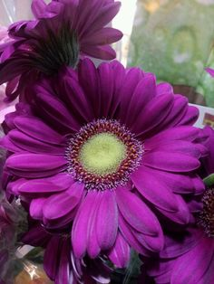 Purple Gerber Daisy- this will be pinned in bridal party hair Flower Images, Flower Pictures, Purple Orchids, Purple Flowers, Types Of Flowers, Beautiful Flowers, Gerbera Daisy Bouquet, Gerbera Flower, Daisy Image