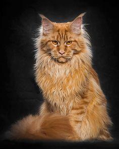 gatos da raça maine coon